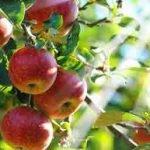 Apfelessig – 3 Gründe warum Apfelessig gut fürs Haar ist!